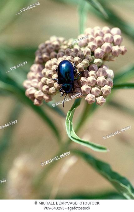 Milkwood Leaf Beetle om milkweed flower buds