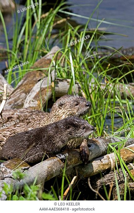 River Otter, adult with baby in Yellowstone National Park