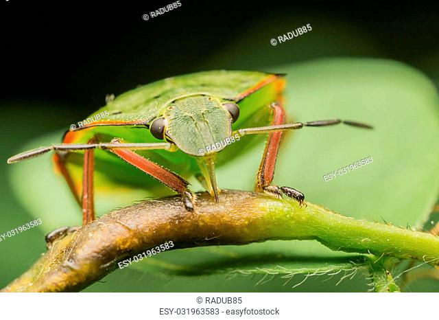 Macro Photo Of A Green Shield Bug Sucking Sap From A Plant