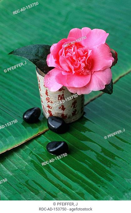 Camellia  'Debbie' in vase with chinese characters Camellia japonica