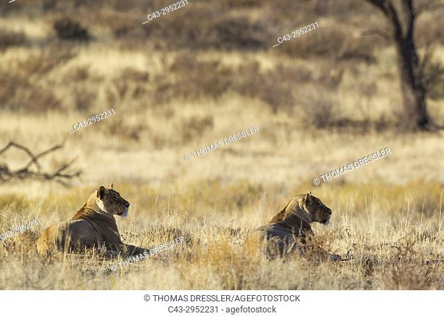 Lion (Panthera leo). Two females observing their surroundinmgs. Kalahari Desert, Kgalagadi Transfrontier Park, South Africa