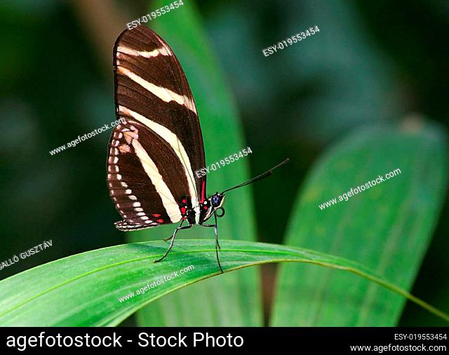 zebra butterfly2