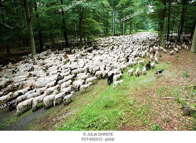 A German Shepherd herding sheep