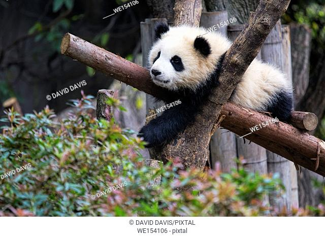 Baby Giant Panda resting in a tree at the Chengdu Research Base of Giant Panda Breeding, Chengdu China