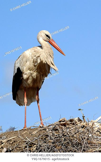 Stork on Nest at Badi Palace Marrakesh or Marrakech Morocco