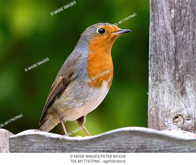 A Robin sitting on a wooden feeder