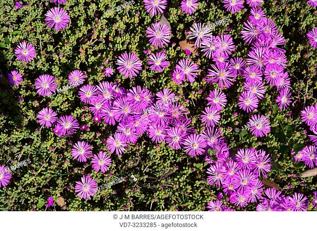 Lampranthus multiradiatus is a creeping succulent plant native to southern Africa. Flowers and leaves detail