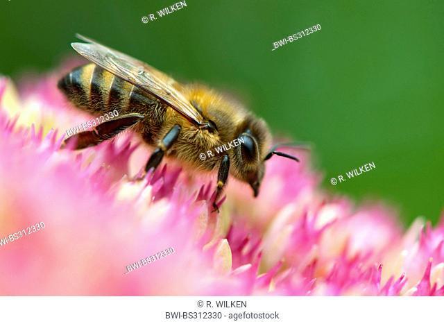 honey bee, hive bee (Apis mellifera mellifera), sitting on sedum inflorescence, Germany, North Rhine-Westphalia