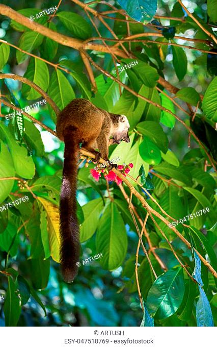 Male of white-headed lemur (Eulemur albifrons) on branch in Madagascar wilderness. Nosy Mangabe forest reserve. Madagascar wildlife