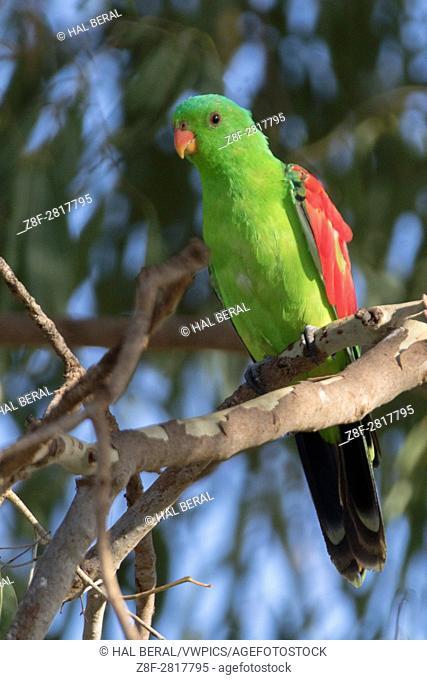 Red-Winged Parrot (Aprosmictus erythropterus) Marreba Swamp, Australia