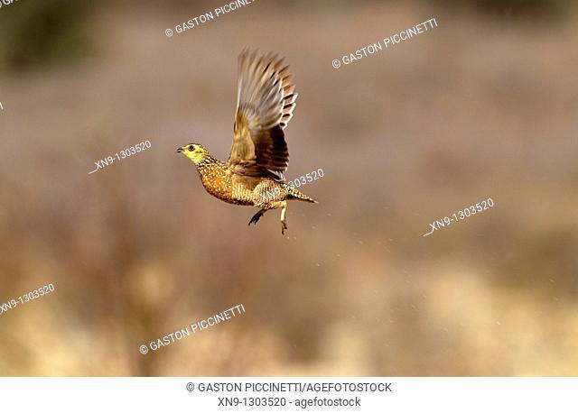 Namaqua Sandgrouse Pterocles namaqua - Female, flying, Mabuasehube, Kgalagadi Transfrontier Park, Kalahari desert, Botswana
