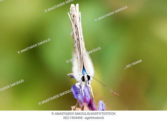Turquoise blue - Plebicula dorylas, Grammos mt , NW Greece