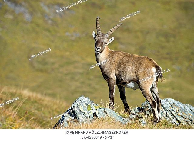 Alpine ibex (Capra ibex), male on rock, Kaiser-Franz-Josefs-Höhe, High Tauern National Park, Carinthia, Austria