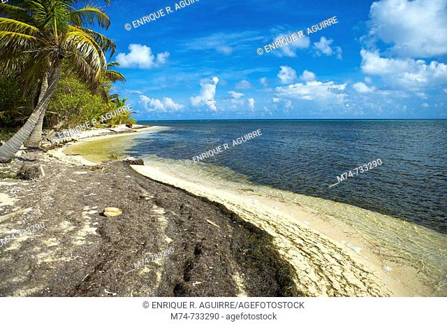 Palm tree on Long Caye, Lighthouse Atoll, Belize, Central America, Caribbean