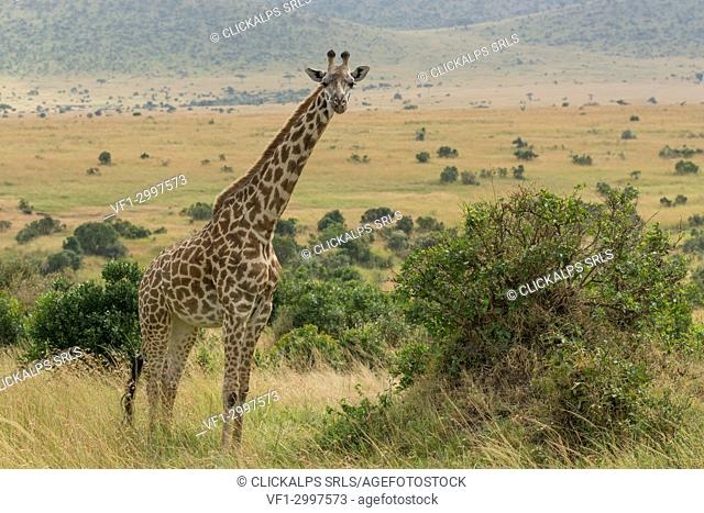 Masai Mara Park, Kenya,Africa,