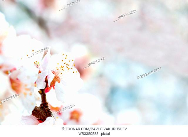 White flowers on spring plum tree with soft blue bokeh background