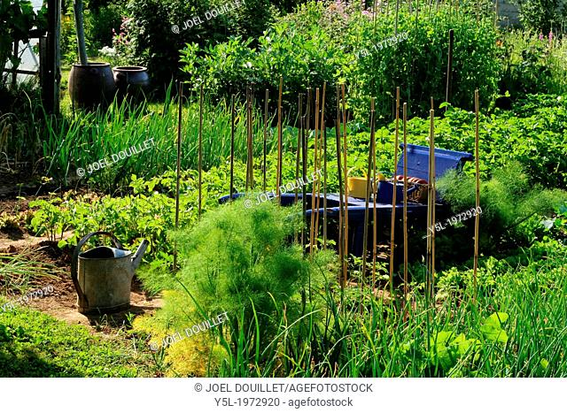 Traditional vegetable garden, mixed bed of onions, fava beans,peas with bamboo canes, potatoes. Fennel near a wheelbarrow