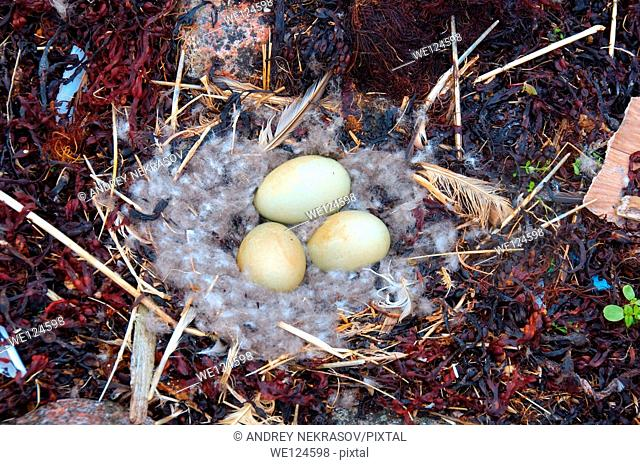 Nest with eggs of the Common Eider (Somateria mollissima), Kola Peninsula, Barents Sea, RussiaNest with eggs of the Common Eider (Somateria mollissima)