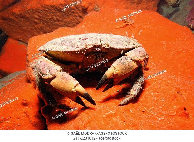 Puncher crab walking on a red sheet sponge, in the north of Brittany. Cancer pagurus on Microciona atrasanguinea