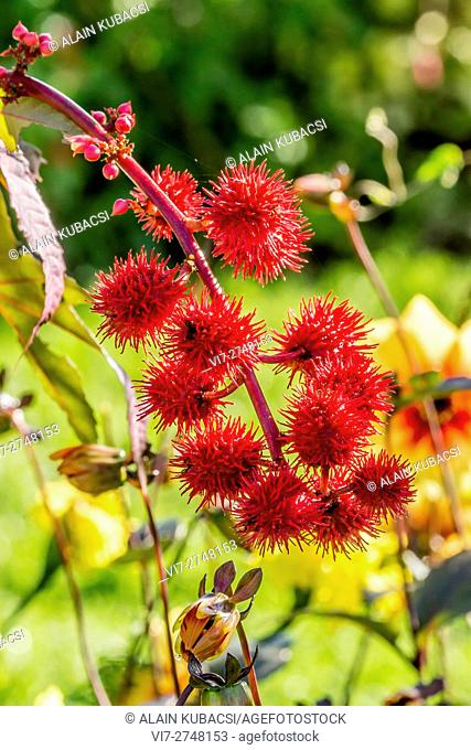 Castor-oil plant common 'Impala'