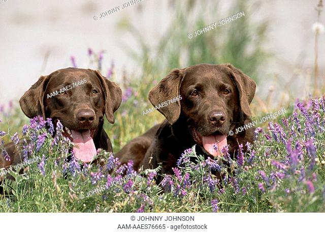 Chocolate Labrador Retriever dogs in field of hairy vetch flowers (Vicia villosa) (PR) Anchorage, Alaska, USA, August