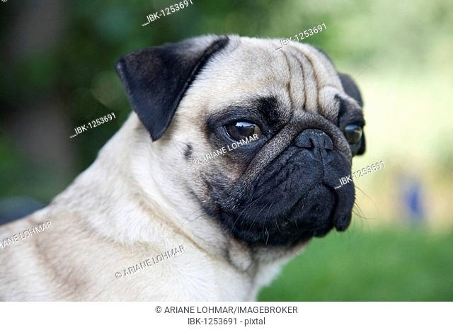 Portrait of a young pug