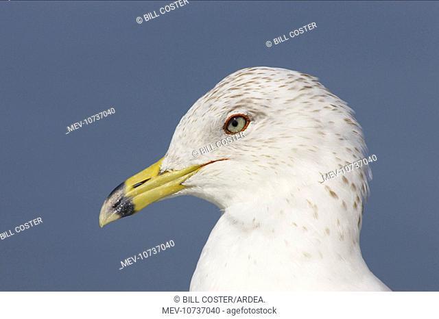 Ring-Billed Gull - head shot winter plumage (Larus delawarensis)
