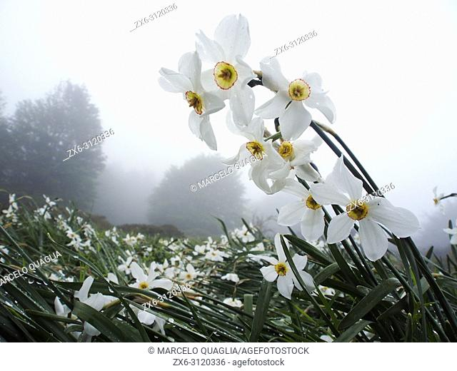 Poet's Daffodils (Narcissus poeticus) on a misty springday. Montseny Natural Park. Barcelona province, Catalonia, Spain