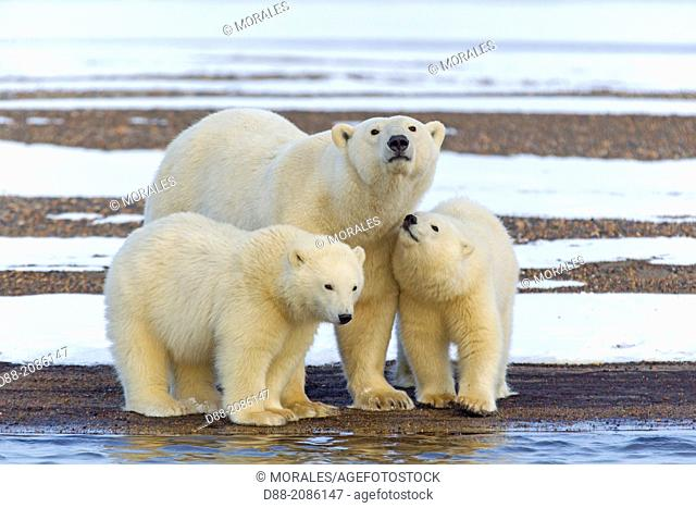 United States , Alaska , Arctic National Wildlife Refuge , Kaktovik , Polar Bear( Ursus maritimus ) , female adult with 2 cubs from the year
