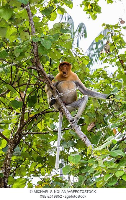 Adult proboscis monkey, Nasalis larvatus, foraging in Bako National Park, Sarawak, Borneo, Malaysia