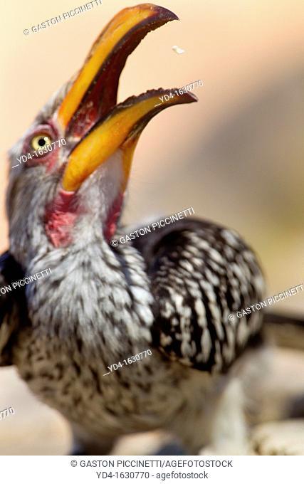 Southern Yellow-billed Hornbill Tockus flavirostris, eating, Mabuasehube, Kgalagadi Transfrontier Park, Botswana