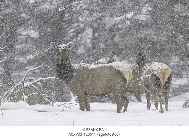 Elk (Cervus elaphus) on a snowy slope on the Columbia Blacktail Plateau. at Yellowstone National Park,Mammoth Hot Springs,Wyoming,USA on January 22