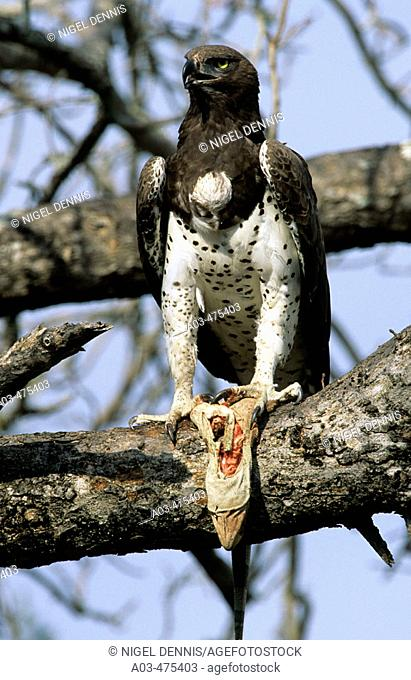 Martial Eagle, Polemaetus bellicosus, with monitor lizard, Kruger National Park, South Africa
