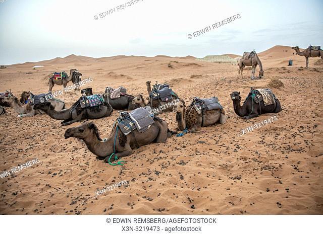 Resting Camels Among the Desert of Merzouga, Morocco. Sahara Desert - Erg Chabbi dunes