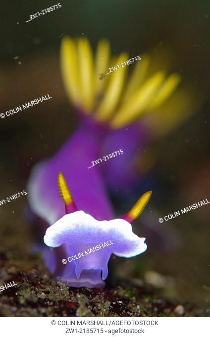 Robe Hem Hypselodoris Nudibranch (Hypseldoris apolegma), Three Sisters dive site, Padar Island, Komodo National Park, Indonesia
