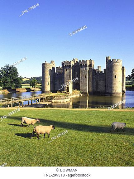 Sheep in front of castle, Bodiam Castle, Sussex, England