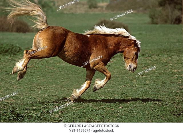 HAFLINGER PONY, ADULT KICKING