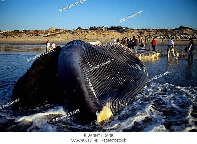 Blue whale,Balaenoptera musculus, people looking at a dead blue whale calf,view of pleats and baleen,Monterey, California,USA, Pacific ocean