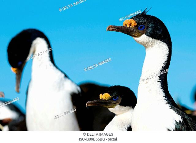 Portrait of an Imperial shag (Leucocarbo atriceps), Port Stanley, Falkland Islands, South America