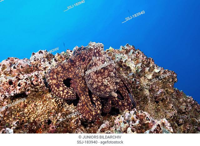 Well camouflaged Common Octopus (Octopus vulgaris), Socorro, Revillagigedo Islands, Mexico