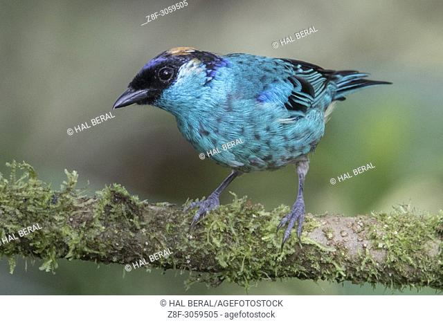 Golden-Naped Tanager (Tangara ruficervix). Ecuador