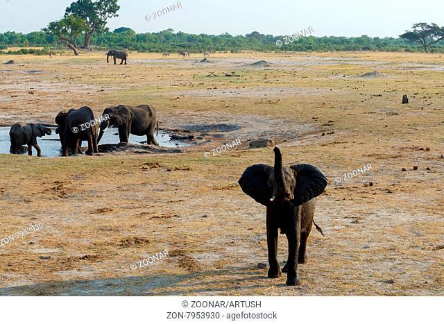 herd of African elephants drinking at a muddy waterhole, Hwankee national Park, Botswana. True wildlife photography