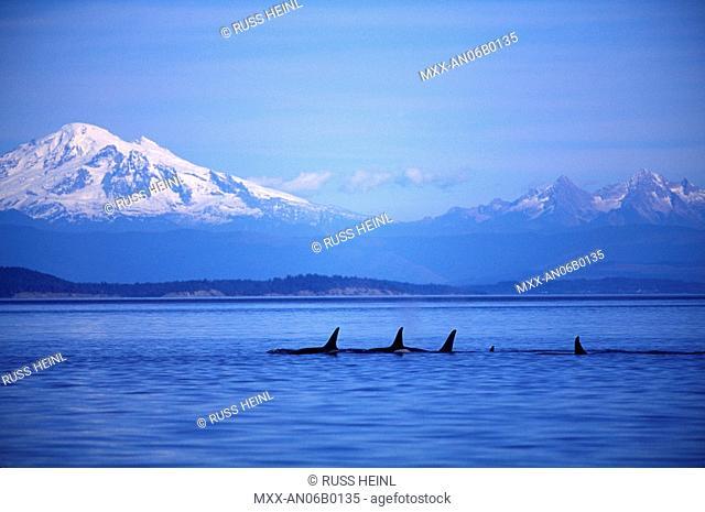 Orca, Killer Whales off Vancouver Island, British Columbia, Canada