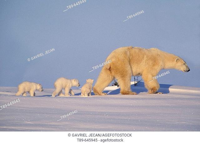 Polar bear (Ursus maritimus), mother and cubs