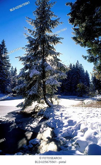 dornbirn, autumn, cold, calf, back light, fir, austria