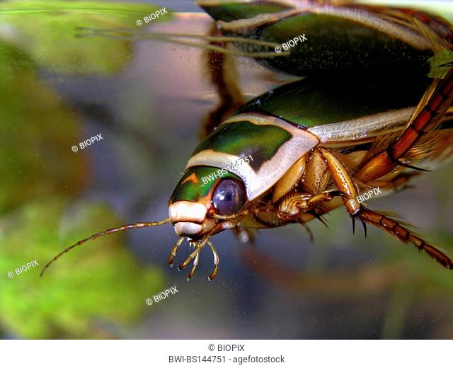 Great diving beetle (Dytiscus marginalis), male under water surface