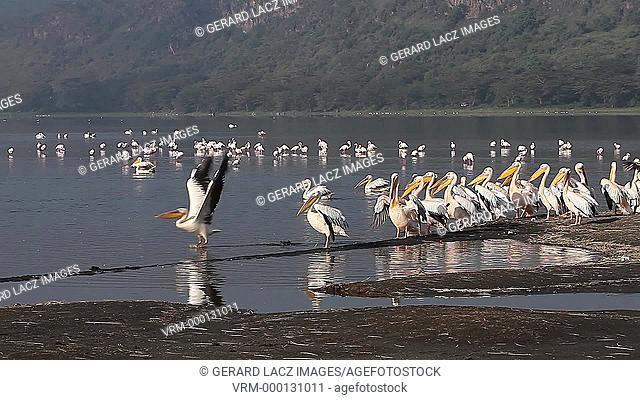 Great White Pelican, pelecanus onocrotalus, Adults in Flight, Colony at Nakuru Lake in Kenya, Slow motion