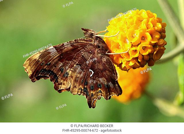 Comma Polygonia c-album adult, feeding on Golden Globe Buddleia Buddleja globosa in garden, Powys, Wales