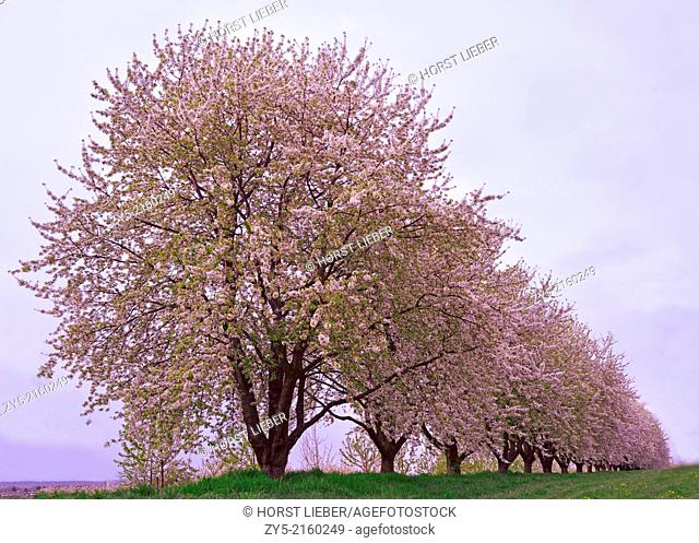 The fruit tree blossom in Ortenau, Baden-Württemberg, Germany