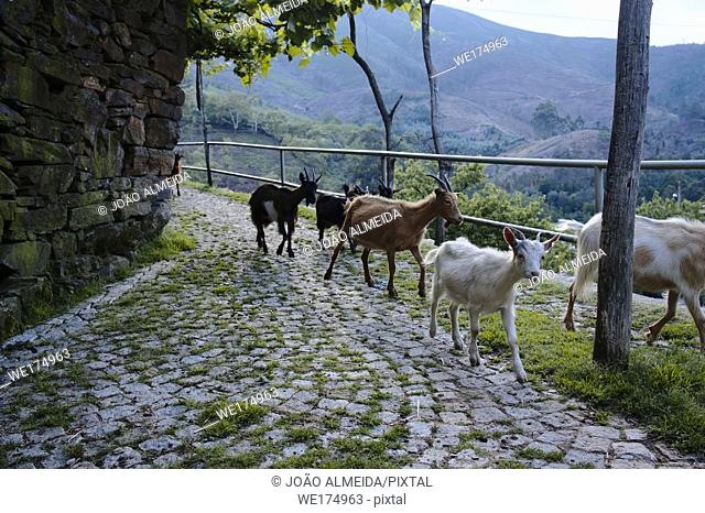 At the end of each day, the herds of goats move down the hills, to the small villiages in the Valleys of the Arada mountains